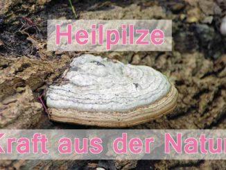 Chaga-Pilz-Antiherpesmittel ? ausführliche Info hier